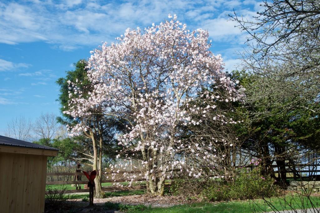 21 Star Magnolia