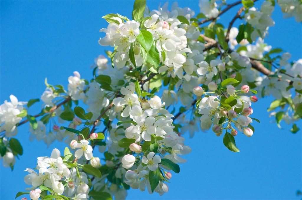 22 Snowdrift Crabapple Flowers
