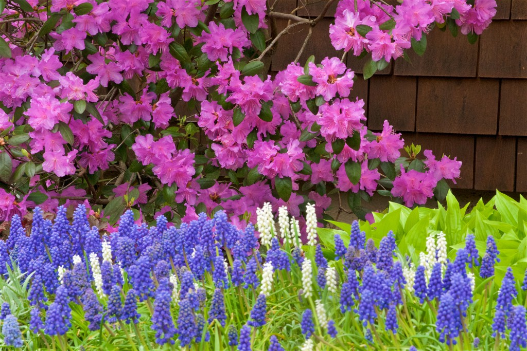 31 Pjm Rhododendron And Grape Hyacinth