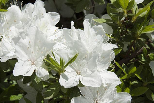 Azalea Bianca / White Azalea
