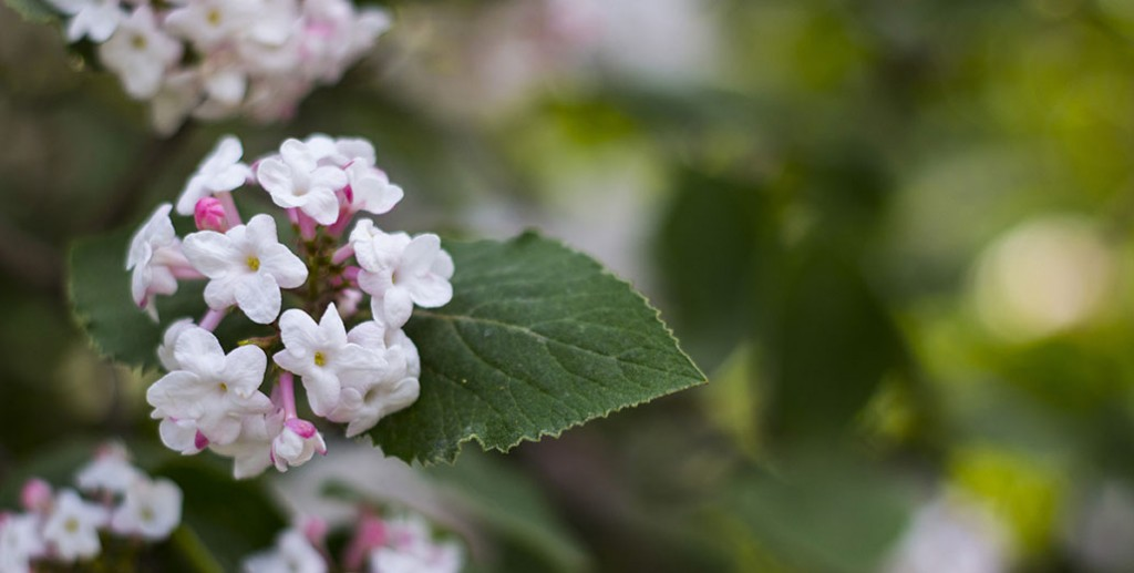 Korean Viburnum Viburnum Carlesii , Belongs To The Family Viburnaceae, Native To Korea