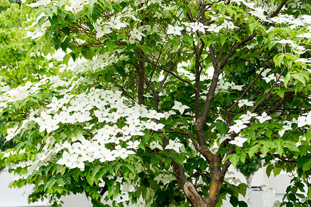 Roadside Tree With White Flowers