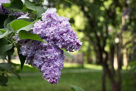 Lilac Flowering. Lilac Bush Bloom.